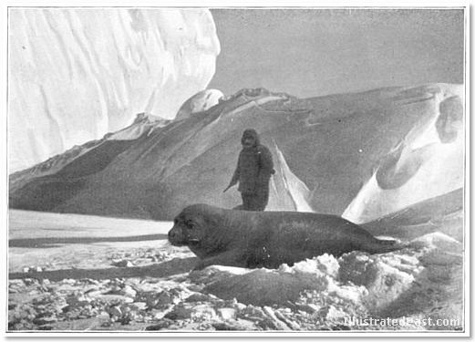 An Antarctic Seal