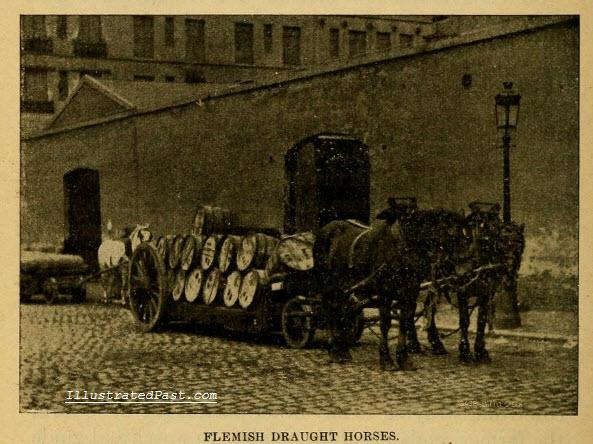 Flemish Draft Horses